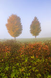 Pair of maple trees in the autumn mist. Stock Photo