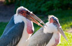 Pair of marabou Stock Photos