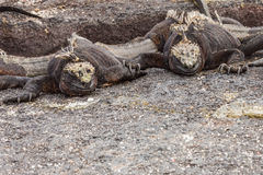 Pair of marine iguanas looking at the same void. Selective focus on the head of the animal, background is out of focus Stock Photos