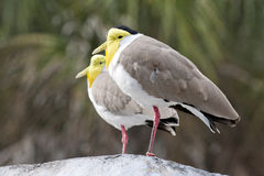 A Pair of Masked Lapwings Royalty Free Stock Photo