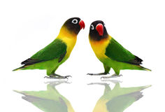 Pair of Masked Lovebirds on white. Pair of Masked Lovebird natural coloring on the white background Stock Photo