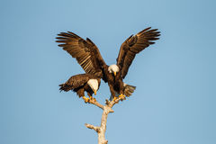 Pair of mating American Bald Eagles Royalty Free Stock Images