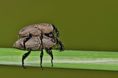 A pair of mating Billbugs. royalty free stock photography