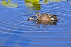 Mating Blue-Winged Teal Ducks royalty free stock photos