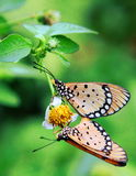 A Pair of Mating Butterflies Royalty Free Stock Photography