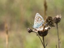 Pair of mating chalkhill blue Polyommatus coridon butterflies in the family Lycaenidae. royalty free stock photo