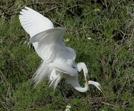 Mating pair of egrets in Florida royalty free stock photo