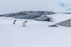 Pair of mating gentoo penguins in Antarctica Royalty Free Stock Images