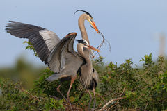 Pair of mating great blue herons with wings flying Royalty Free Stock Image