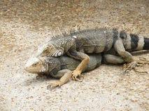 Pair of Mating Iguanas on a Walk Way in Aruba. Pair of breeding iguanas on a concrete walk way in Aruba Stock Photography