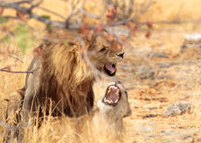A Pair of Mating lions in Etosha National Park Royalty Free Stock Images