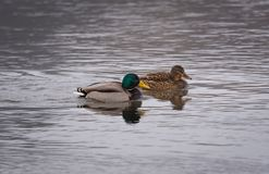 A pair of Mallard ducks swimming in the river. A pair of mating Mallard ducks drake and hen swimming in the river Stock Images