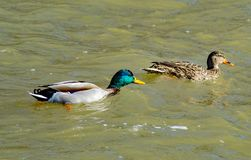 A Pair of Mating Mallard Ducks Swimming Together by a Flooding Roanoke River. A pair of Mallard Ducks Swimming together in the Flooding Roanoke River, Roanoke stock photography