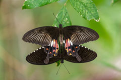 Pair of mating Mormon butterflies hanging on leaf Royalty Free Stock Image