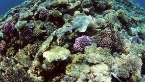 Pair of mating stingrays on coral reef stock video footage