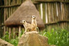 Pair of meerkat, also known as suricate, Suricata suricatta  Royalty Free Stock Photos