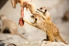 Pair of meerkat eating Stock Image