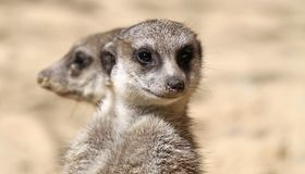 Pair of Meerkats 03 Royalty Free Stock Image