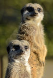 Pair of Meerkats Stock Photo