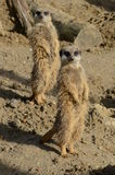 A pair of Meerkats Stock Photos