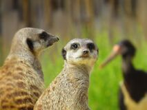 Pair of meerkats  Royalty Free Stock Photos