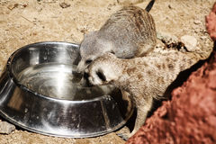 Pair of Meerkats drinking. Image of a pair of Meerkats drinking water from a bowl Stock Photography