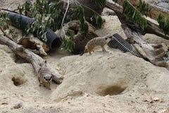 Pair of meerkats. A pair of meerkats foraging Stock Image