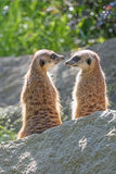 Pair of Meerkats is looking on each other Stock Photography
