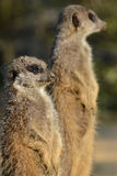 Pair of Meerkats on lookout Stock Images