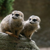 Pair of Meerkats Stock Photography