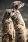 Pair of Meerkats Stock Image