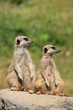 Pair of meerkats Stock Image