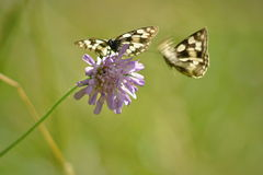 Pair of melanargia galathea butterflies. Typical butterflies of middle european fields and meadows Stock Image