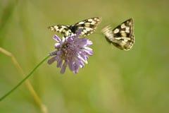 Pair of melanargia galathea butterflies Stock Image