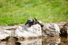 Pair of Midland Painted Turtles (Chrysemys picta marginata). Painted Turtle Sunning on a Log Stock Images