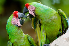 A pair of military macaws Stock Photos