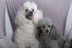 A Pair of Miniature Poodles Royalty Free Stock Photos