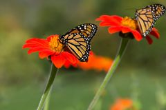 Monarchs. A pair of monarch butterflies gathering nectar from orange flowers. Photographed with a shallow depth of field in natural light stock photography