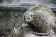 Pair of mongoose Royalty Free Stock Images