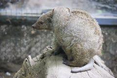 Pair of mongoose Royalty Free Stock Image