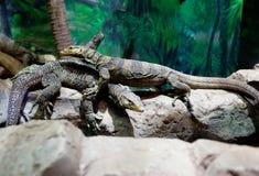 Pair of monitor lizards Stock Photo