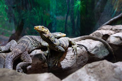 Pair of monitor lizards Stock Photography