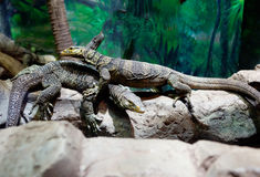 Pair of monitor lizards Stock Photo