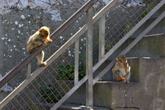 A pair of monkey. Gibraltar Stock Photography