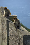 A pair of monkey sitting on a stone fence Stock Photography