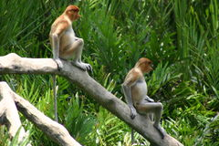 Pair of monkeys. Two proboscis mokeys sat on a branch stock photo