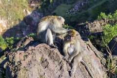 A pair of monkeys in the open nature, look after each other. On Vulcan Batur Bali. The height of 2000 meters above sea level. The Stock Image