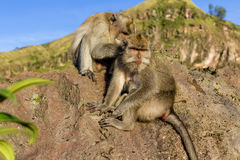 A pair of monkeys in the open nature, look after each other. On Vulcan Batur Bali. The height of 2000 meters above sea level. The Royalty Free Stock Image