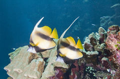Pair of moorish idols on a reef Stock Photo