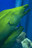 Pair of Moray Eels Royalty Free Stock Photography